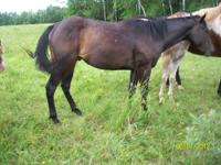 Forsale, two geldings. One black , he is coming four