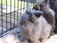 I have 4 Female Lionhead and Lionhead Lop Bunnies,