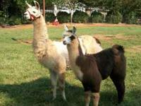 9 month old black and white male llama. Imprinted from