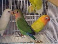 Beautiful Young tamed hand raised love birds for sale!