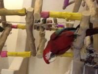 Selling three macaws one green wing one Catalina second