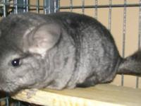 Several young male chinchillas are available now. 1.