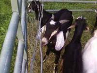 Several intact male goats for sale. All dairy goats,
