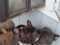 We have young males french bulldogs brindle and blue