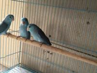 Hi I have up for sale 3 young parrotlets there is 2