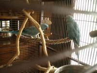 Male and Female blue Indian Ringnecks The male is just