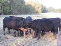 Seven young registered Black Angus bulls-1 yearling, 4