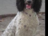 Young standard poodles. Neutered males and Spayed