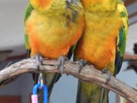 I have 2 DNA'd and banded male sun conures weaned and