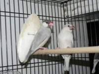 I have for sale two babies silver java finches they