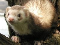Motor City Ferrets always has many ferrets up for