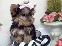 Beautiful litter of full bred Yorkshire Terrier