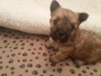 Amazing puppies yorkbes 3 females 1 male charting from