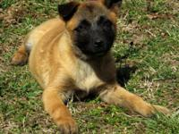 DOB 12/08/14 .Working Police Dog Lines Top puppies for