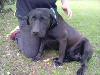Precious male lab mix about 1-2 yrs old and 50 lbs. He