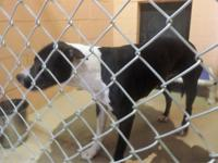 Zatanna is a Pit Bull Terrier MIX that is about a year