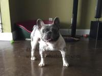 Zayah - French Bulldog Adult Male for Sale As hard as