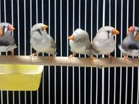 Zebra finches available for new homes. Zebra Finches