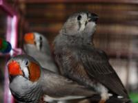 3 Zebra Finches and full cage set up. There is a