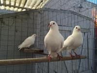Mango & Zee are big, beautiful King pigeons. They are