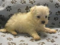 AKC male Maltese puppy expected to be about 5 to 6 lbs
