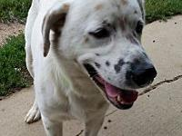 Zeus's story Zeus is a 4-year-old male English Setter /