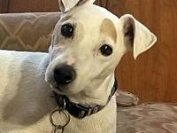 Zeus's story Zeus is a Jack Russell terrier mix who