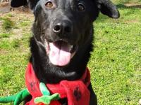 Zeus is a beautiful 3.5 yr old, 70 lb Black Lab