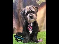 Zeus's story For Adoption Zeus 7 month old male Shih
