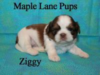 Ziggy is such a wonderful example of a little Shih Tzu!