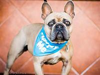 Ziggy The Frenchie!'s story Meet Ziggy The Frenchie!!