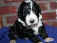 Zip is black and white with tan. DOB 3/31/15 Dad is AKC