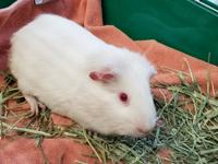 Zip and 2 other guinea pigs were brought to the shelter