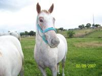 ApHC REG. appy mare ready to go to work, can be trained