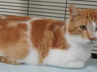 Zoe is a domestic short hair cat, orange and white in