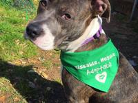Zoe is an 8 month old blue brindle & white female
