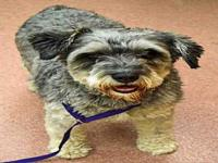 miniature schnauzer Pets and Animals for sale in Utah - Puppy and