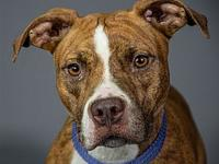 My story My name is Zoey. I'm a 42lb Female Pit mix