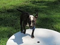 Zoey's story ZOEY SHELTER BREED: PIT MIX FEMALE, 10