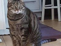 Zoey, Female, approx 12 years old, DSH Gray Tabby  Meet