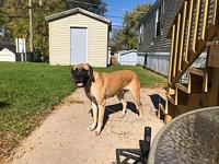 My story Meet Zola aka Zozo, English mastiff 2 years