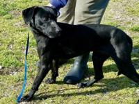 Zoomer is a black female Labrador Retriever mix. She is