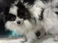 Black and white male Pomeranian with a mask, named Zoro