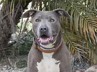Zuma's story Breed: American Staffordshire Terrier