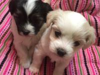 Bishon/Shih tzu puppies will be ready soon taking